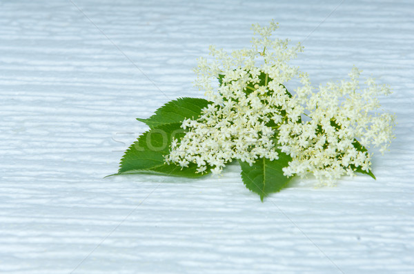 flowers elderberry Sambucus nigra and elderberry flower isolated on cold white background Stock photo © szabiphotography