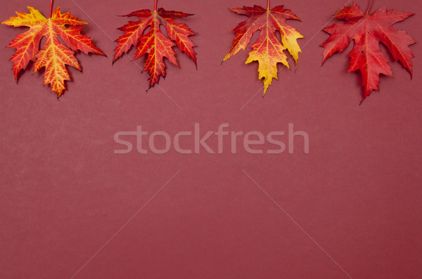Autumn colorful fallen maple leaves in row on claret background Stock photo © szabiphotography