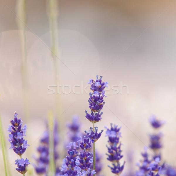 Lavanda flor naturalismo veja flores violeta Foto stock © szabiphotography