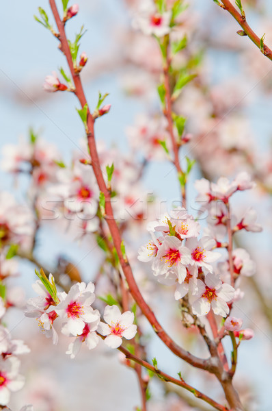Stock photo: Almond blossom, blooming almond tree in March