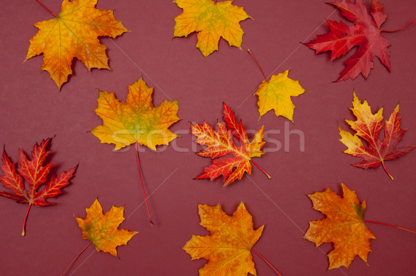 Autumn colorful fallen maple leaves on claret background Stock photo © szabiphotography