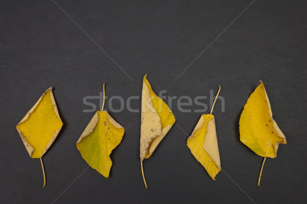 Autumn yellow fallen leaves in row on dark grey background Stock photo © szabiphotography