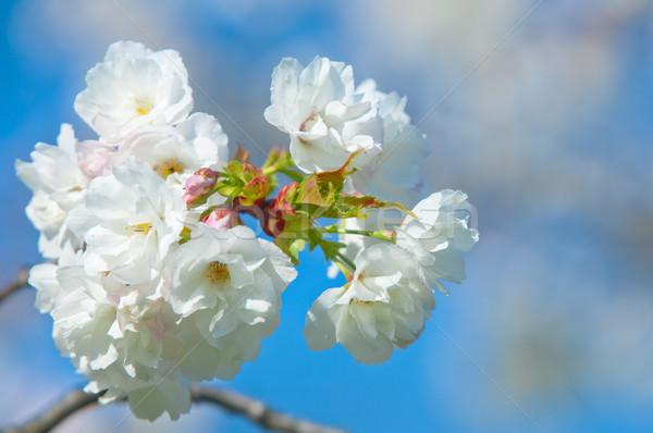 Cseresznyevirág tele virágzik cseresznye fa természet Stock fotó © szabiphotography