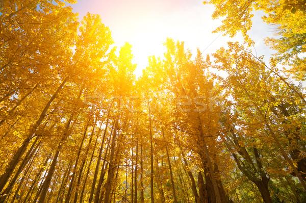 Golden Fall Aspen Trees Stock photo © szefei