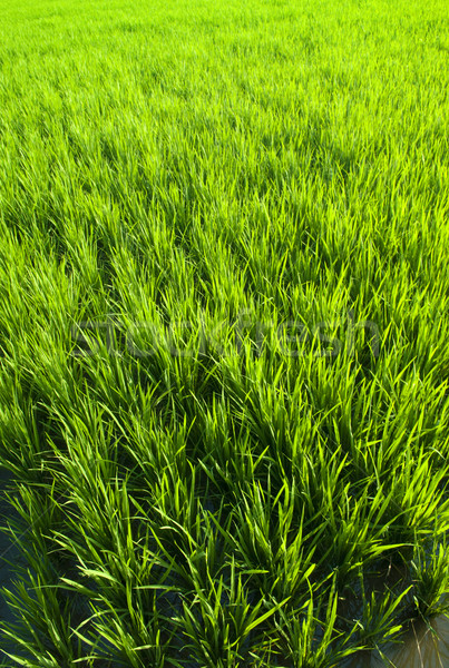 Rice field Stock photo © szefei