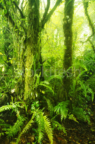 Mossy forest Stock photo © szefei