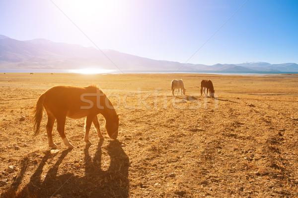 Horses in sunrise, Tsomoriri, India Stock photo © szefei