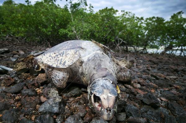 Dead sea turtle Stock photo © szefei
