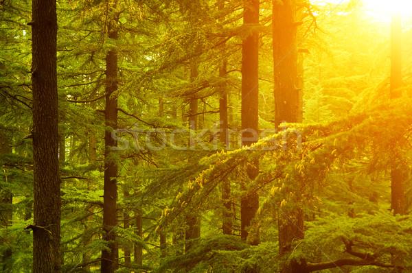 Pine tree in golden sunlight Stock photo © szefei
