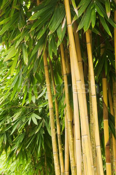 бамбук дерево азиатских лес поздно после полудня Сток-фото © szefei