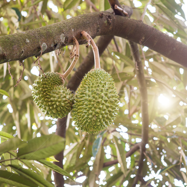 Musang king durian tree in orchard. Stock photo © szefei