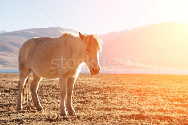 Horse in sunrise Stock photo © szefei
