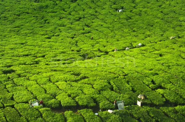Tea farm Stock photo © szefei
