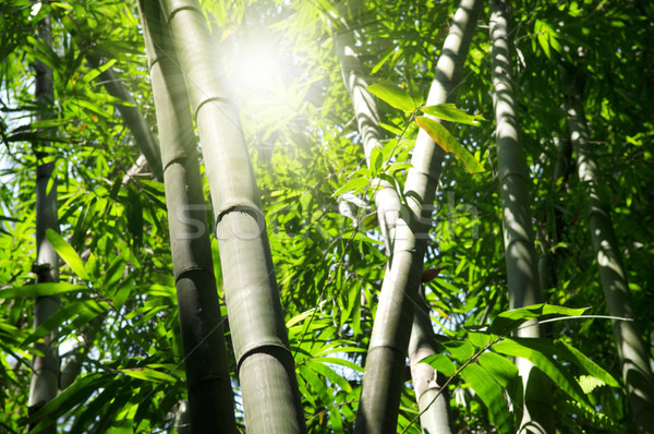 Bambu ağaç manzara Asya orman sabah Stok fotoğraf © szefei