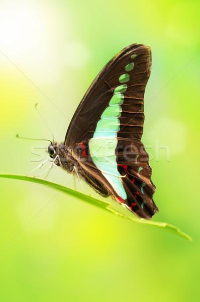 Blue Bottle Butterfly Stock photo © szefei