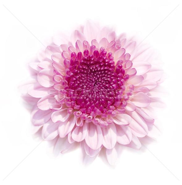 Chrysant roze geïsoleerd witte hoog sleutel Stockfoto © szefei