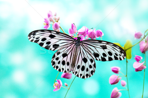 Rice Paper Butterfly Stock photo © szefei