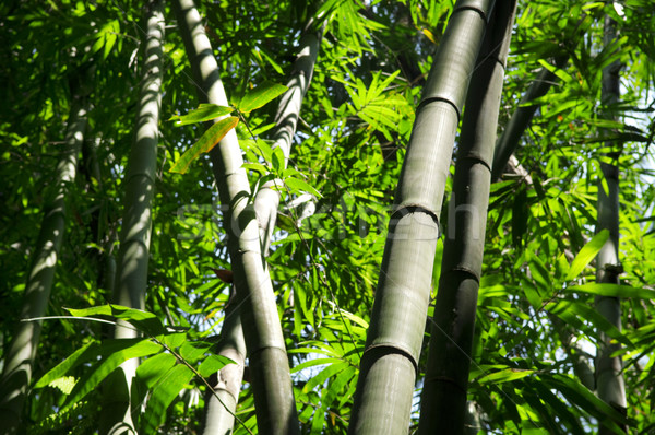 Bambù albero asian foresta mattina luce del sole Foto d'archivio © szefei