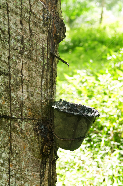rubber tree Stock photo © szefei