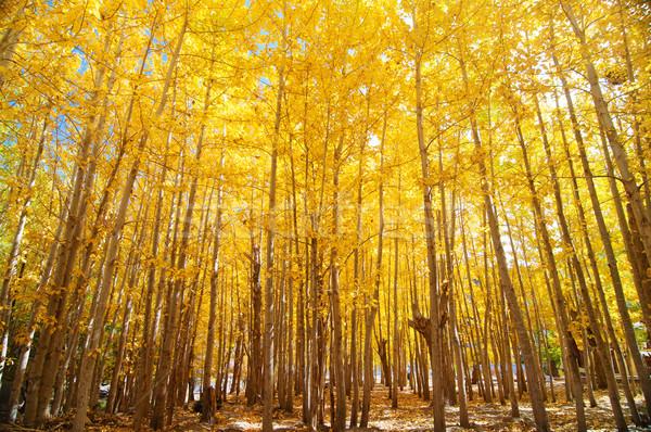 Wide angle fall Aspen Trees Stock photo © szefei