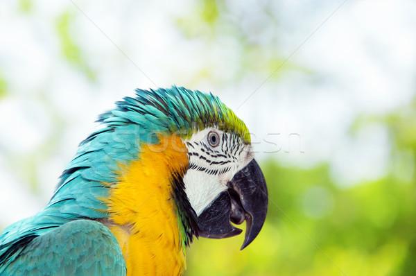 Blue and yellow macaw Stock photo © szefei