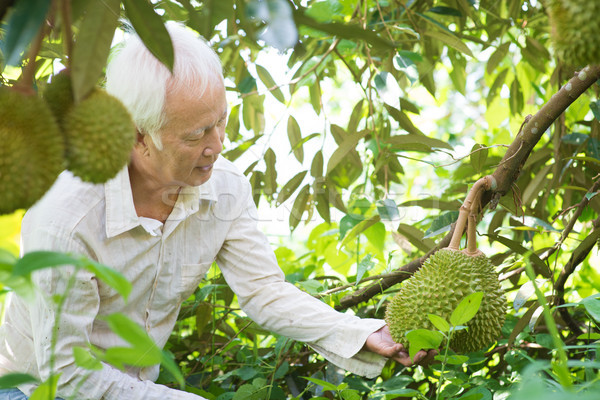 Asian people and durian tree. Stock photo © szefei