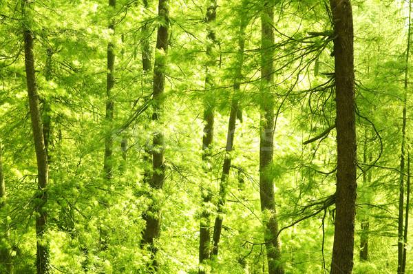 сосна город дерево древесины пейзаж Сток-фото © szefei