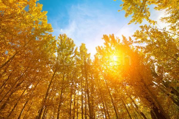 Stock photo: Aspen Trees in autumn seasons