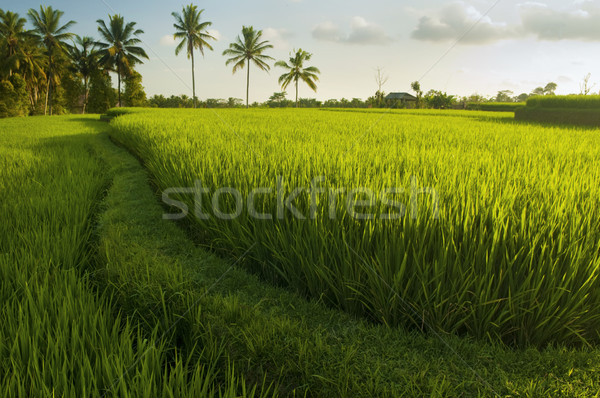 Terrasse riz champs coucher du soleil bali Photo stock © szefei