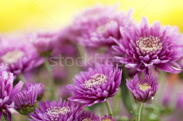 Chrysant veld ochtend voorjaar blad Stockfoto © szefei