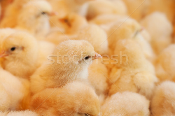 Young yellow baby chicks  Stock photo © szefei