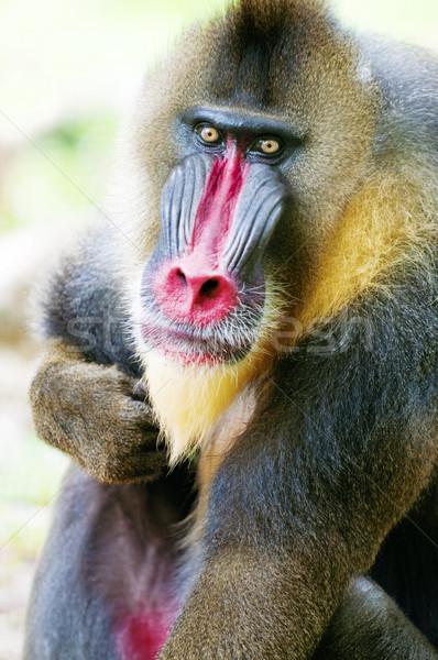 Alfa masculino macaco jardim zoológico Malásia cara Foto stock © szefei