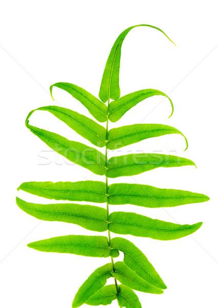 Varen blad geïsoleerd witte boom Stockfoto © szefei
