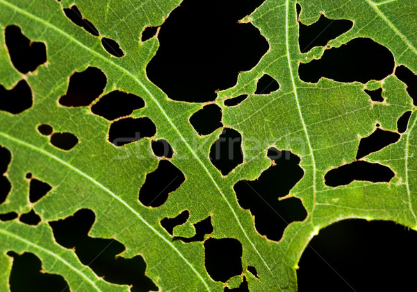 Leaf with holes. Stock photo © szefei