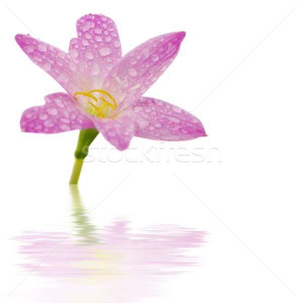 Hermosa flor rosa blanco belleza espacio rojo Foto stock © szefei