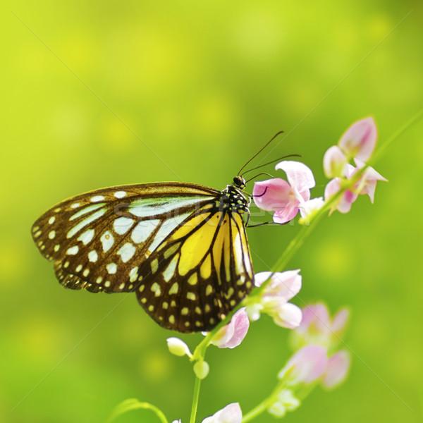 Borboleta amarelo vítreo tigre flor Foto stock © szefei