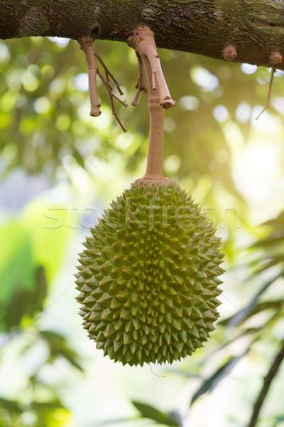 Boom boomgaard vers tropische vruchten koning voedsel Stockfoto © szefei