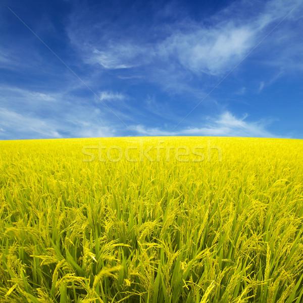 Arrozal dourado pronto colheita paisagem beleza Foto stock © szefei