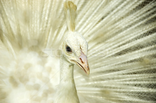 White peacock.  Stock photo © szefei