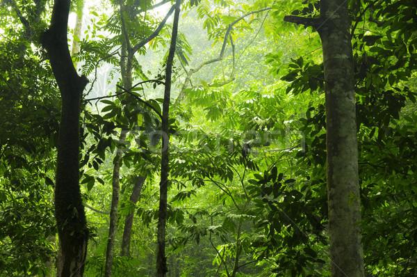 Yeşil orman sabah tropikal rainforest görmek Stok fotoğraf © szefei