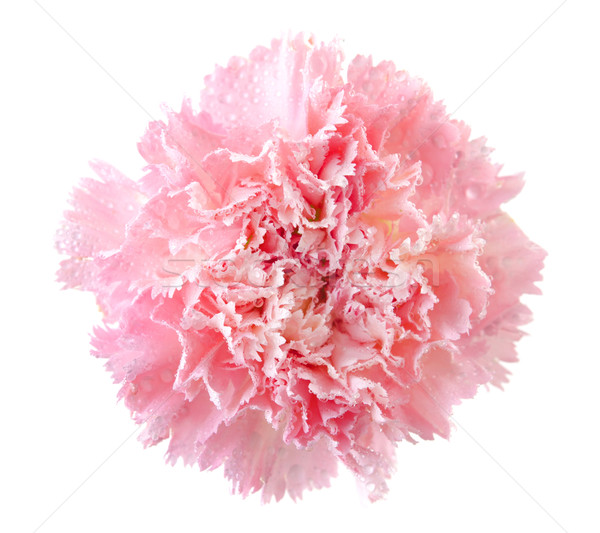 Rosa clavel flor cabeza aislado blanco Foto stock © szefei