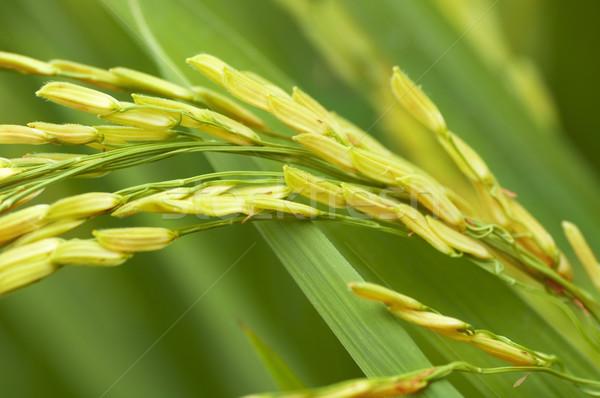 риса зеленый продовольствие области листьев Сток-фото © szefei