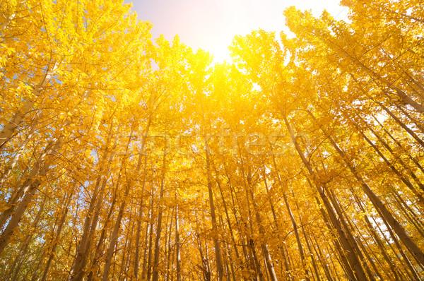 Stock photo: Wide angle view aspen Trees