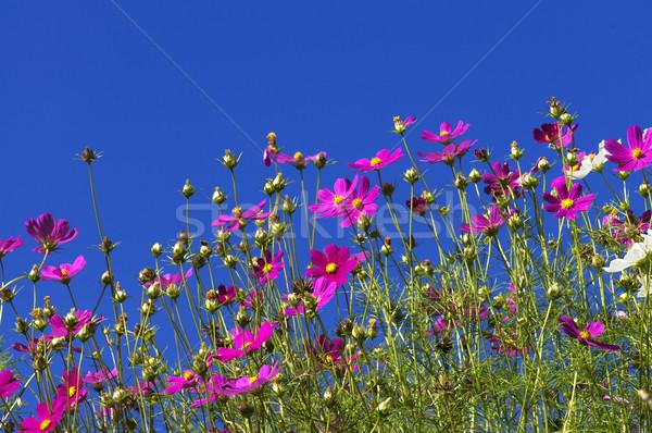 Cosmos Garden Stock photo © szefei