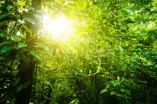 Natural tropical forest  Stock photo © szefei