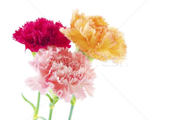 Szegfű virágok három különböző szín virág Stock fotó © szefei