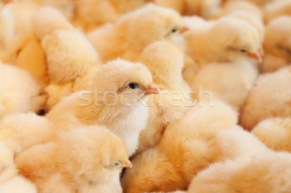 Stok fotoğraf: Genç · bebek · civciv · tavuk · yumurta · çiftlik