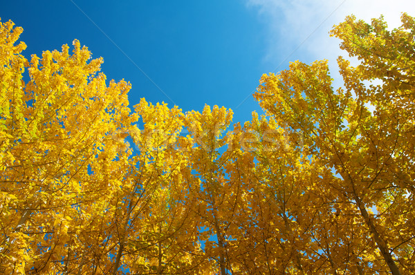 View of Fall Aspen Trees  Stock photo © szefei