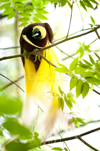 Bird Of Paradise Stock photo © szefei