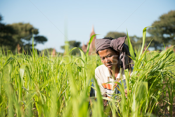 Traditional Myanmar farmer working in field Stock photo © szefei